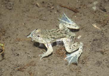 アジアウキガエル