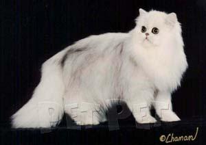 ペルシャ猫(シェーデット部門)