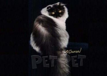 ペルシャ猫(スモーク部門)