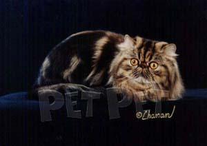 ペルシャ猫(縞・タビー部門)