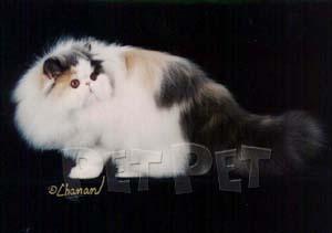 ペルシャ猫(二毛、三毛・バイカラー部門)