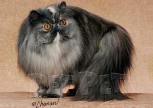 ペルシャ猫(複合色・パーティーカラー部門)