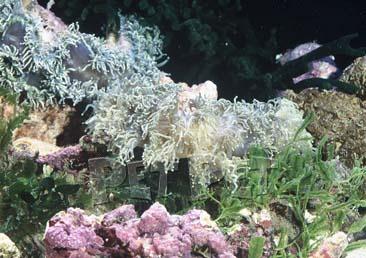 オオナガレハナサンゴ