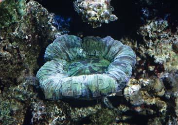 ヒユサンゴ
