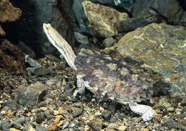 ギザミネヘビクビガメ