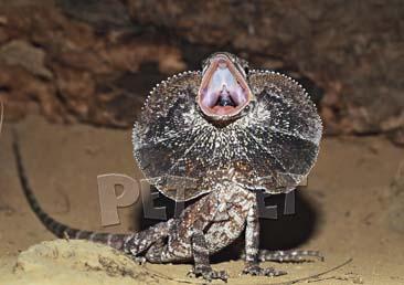 エリマキトカゲの画像 p1_3