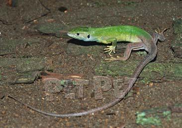 ミドリカナヘビ