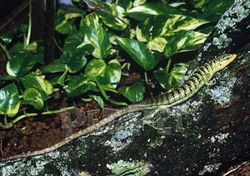 グリーンツリーゾノサウルス