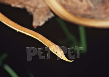 テングキノボリヘビ
