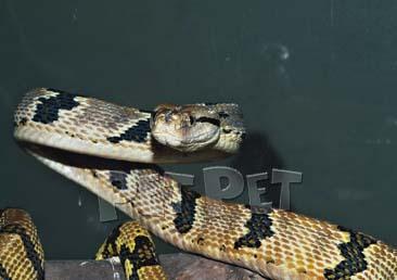 イヌバオオガシラヘビ