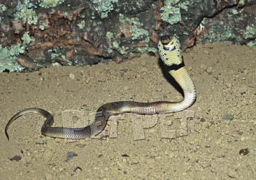 アスプコブラ