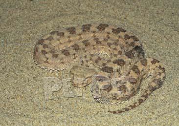 サハラツノクサリヘビ