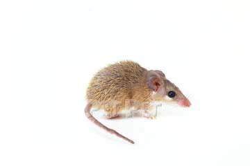 キンイロスパイニーマウス